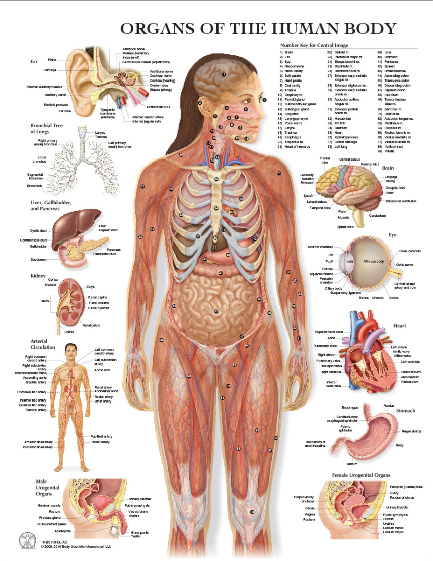 human anatomy introduction himalayan yoga association